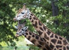 Girafa no JARDIM ZOOLÓGICO, Pilsen, República Checa Imagem de Stock