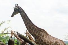 Girafa no parque Fotos de Stock Royalty Free