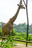 Girafa no parque Foto de Stock