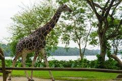 Girafa no parque Imagens de Stock Royalty Free