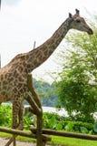 Girafa no parque Foto de Stock Royalty Free