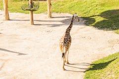 Girafa no parque do safari do jardim zoológico Animais bonitos dos animais selvagens no dia morno ensolarado Imagens de Stock