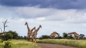Girafa no parque nacional de Kruger, África do Sul foto de stock