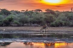 Girafa no parque nacional de Kruger, África do Sul fotografia de stock