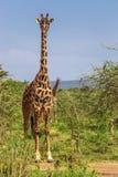 Girafa no parque nacional de Maasai Mara (Kenya) Fotos de Stock Royalty Free