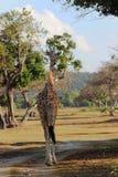 Girafa no savana Imagens de Stock