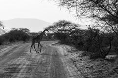 Girafa no savana em kenya Fotos de Stock