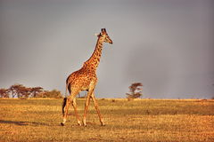 Girafa no savana no nascer do sol no Masai Mara National Park em Kenya Fotografia de Stock