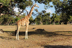 Girafa no savanna foto de stock