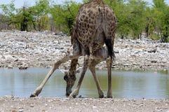 Girafa no waterhole, Namíbia Imagens de Stock