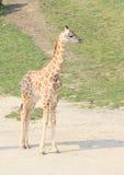 Girafa novo Imagem de Stock Royalty Free