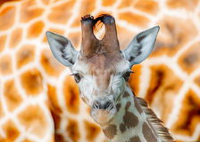 Girafa novo Imagem de Stock