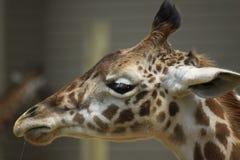 Girafa novo Fotografia de Stock