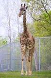 Girafa novo em um jardim zoológico Fotos de Stock