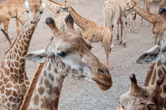 Girafa novo no jardim zoológico Foto de Stock Royalty Free