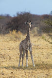 Girafa novo no savana africano Fotografia de Stock