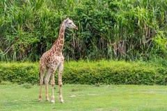 Girafa novo que olha fixamente para fora além imagens de stock royalty free