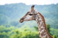 Girafa o animal o mais alto fotos de stock royalty free