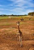 Girafa pequeno com outros girafas no fundo imagens de stock royalty free
