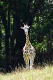 Girafa pequeno realmente impressionante do bebê que obtém mais grande fotografia de stock royalty free