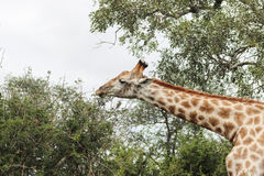 Girafa que alcança para as folhas Imagem de Stock Royalty Free