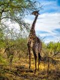 Girafa que alimenta de uma copa de árvore Fotos de Stock Royalty Free