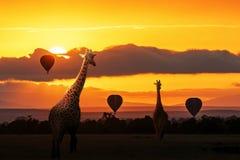 Girafa que anda no nascer do sol em África fotografia de stock royalty free