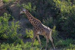 Girafa que anda no vale Imagens de Stock