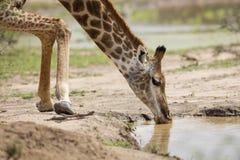 Girafa que bebe no furo molhando Fotografia de Stock