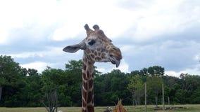 Girafa que cola sua língua para fora com fundo do céu azul Foto de Stock Royalty Free