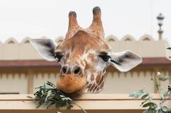 Girafa que come as folhas com orelhas engraçadas fotografia de stock