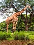 Girafa que come as folhas da copa de árvore Foto de Stock