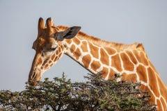 Girafa que come as folhas da parte superior da árvore Fim acima imagens de stock