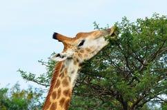 Girafa que come de uma árvore Foto de Stock Royalty Free