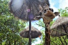 Girafa que come na frente das árvores Foto de Stock Royalty Free