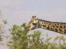 Girafa que come no parque do leste de Tsavo, Kenya Imagem de Stock