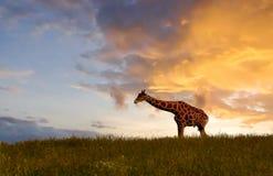 Girafa que come no por do sol Imagem de Stock