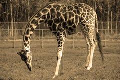 Girafa que come no tom do sepia Imagens de Stock