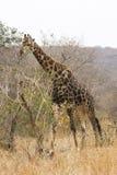 Girafa que consulta Fotografia de Stock Royalty Free