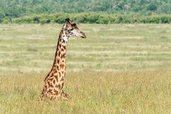 Girafa que descansa na grama longa de Masai Mara imagem de stock royalty free