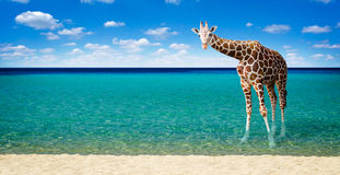 Girafa que descansa no mar fotografia de stock