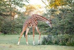 Girafa que dobra-se às folhas da alimentação Fotografia de Stock