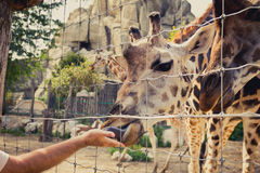 Girafa que dobra-se para baixo para comer de uma mão do homem através da cerca Foto de Stock