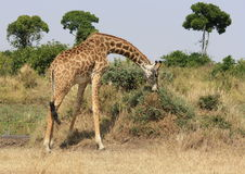 Girafa que dobra-se para comer Fotografia de Stock Royalty Free