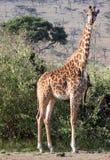 Girafa que está na frente das árvores da acácia Imagem de Stock