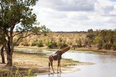 Girafa que está no rio Imagem de Stock