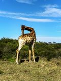Girafa que estica seu pescoço fotografia de stock royalty free