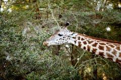 Girafa que estica seu pescoço para comer imagens de stock
