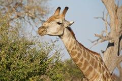 Girafa que estica seu pescoço para comer as folhas Fotografia de Stock