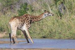 Girafa que estica seu pescoço para fora para engulir a água do rio Fotos de Stock
